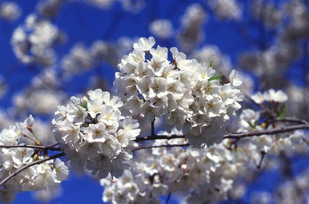 cherry-tree-blossoms2 by hardeepsingh