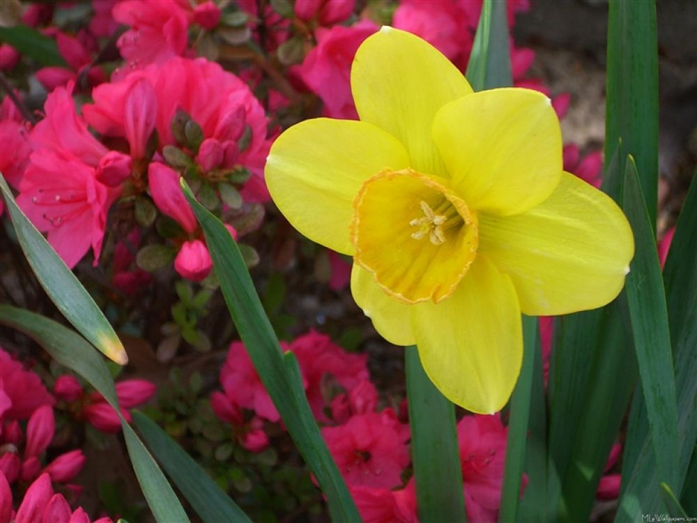 Daffodil-and-Azaleas-323 by hardeepsingh