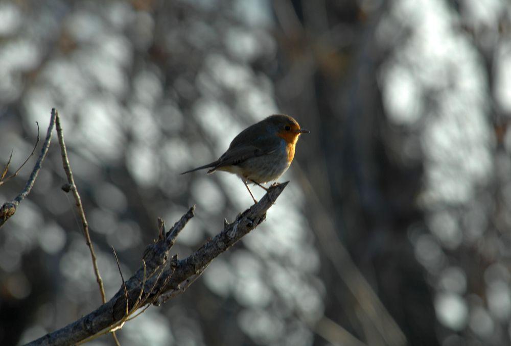 Robin..... by Nicola Tosi