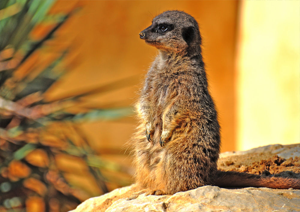 Suricate  by David Thornell