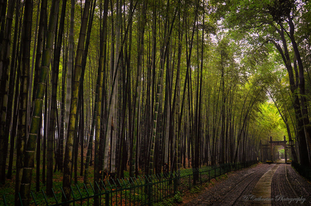 Bamboo Plantation by pohhuays
