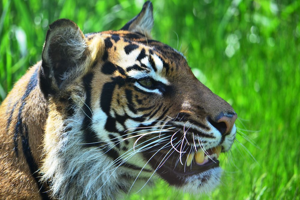 Snarling tiger by RobMcC