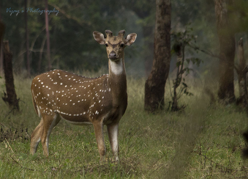 Spotted Deer by vijayakumarramiyadesikachary