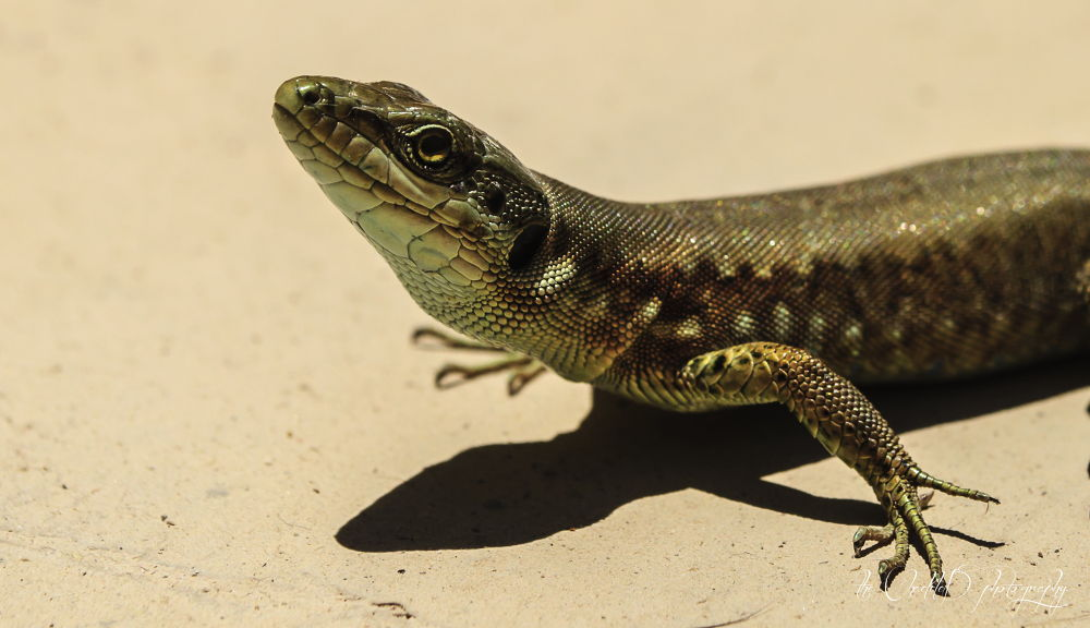 Posing Lizard by Thechadded