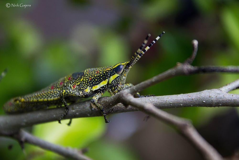 Grasshopper by nickgajera9