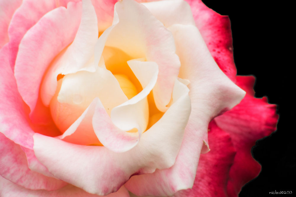 Rose by nicbul