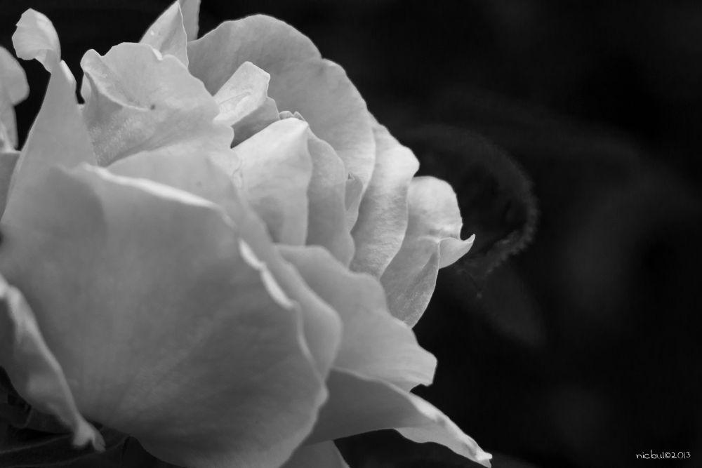 Rosa by nicbul