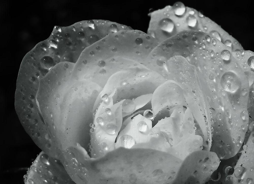 rose bw by manuwa