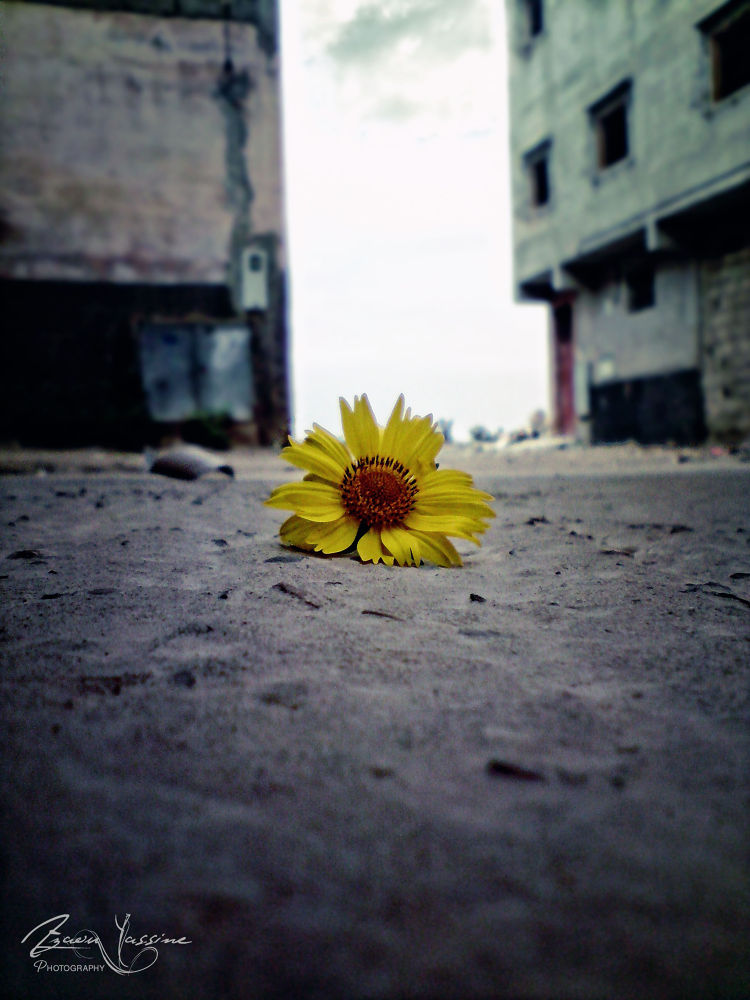 ♣The Lone Rose ...  by Yassine Azaou