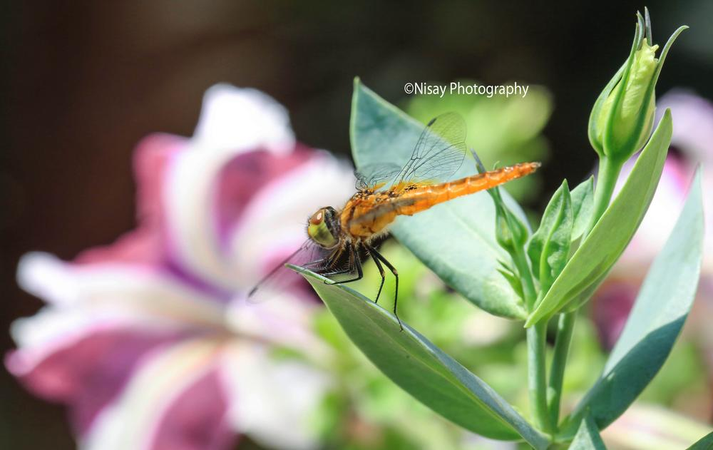 DRAGONFLY BIG M FOUR by PKAY NISAY
