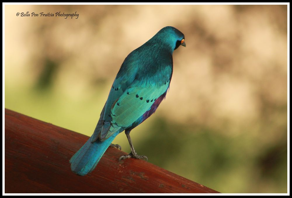 Starling.jpg by bfruitsia
