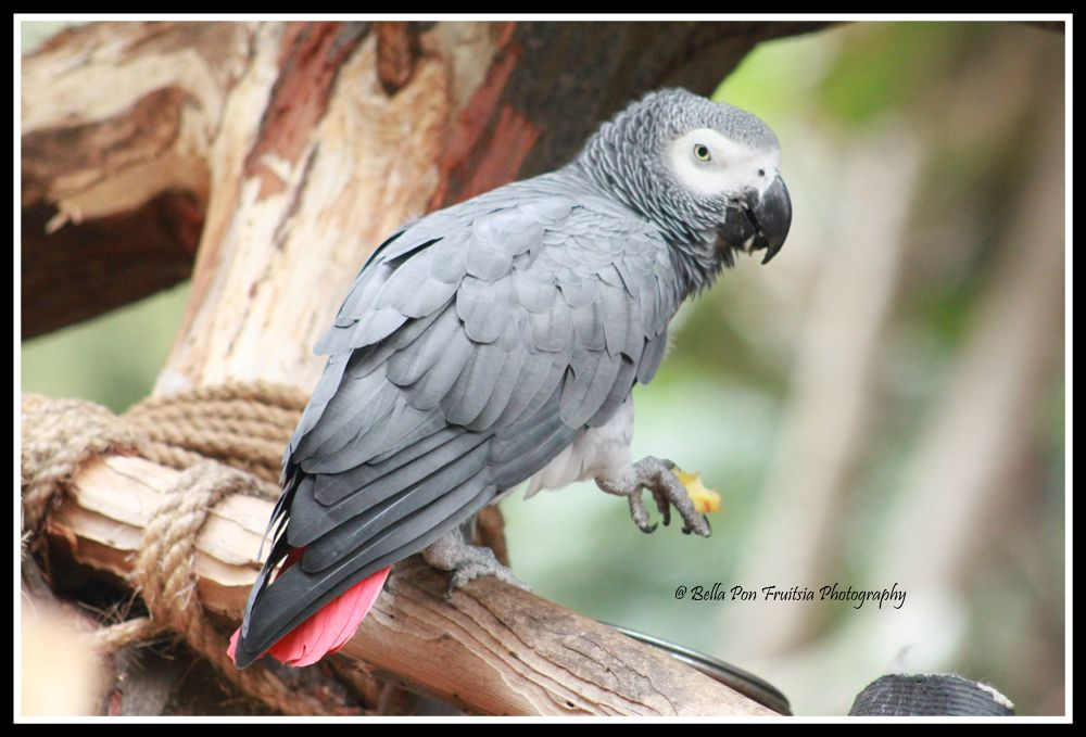 Grey African Parrot  by bfruitsia
