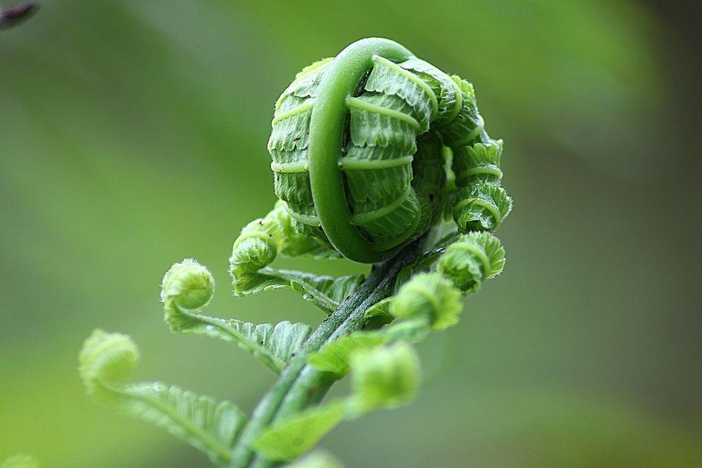 fern leaf roll by oom endro
