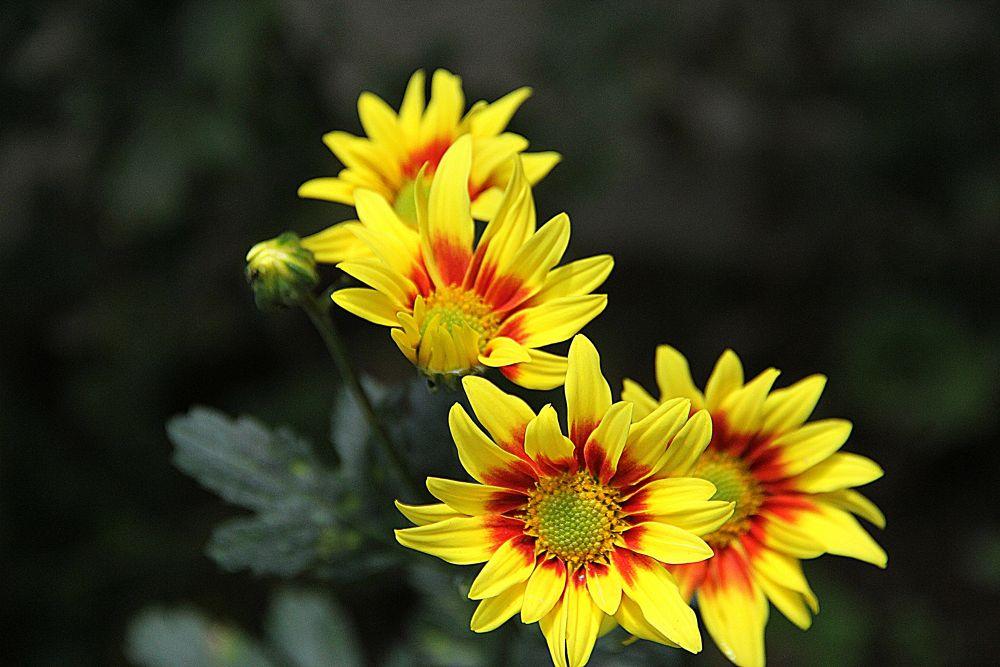 Chrysanthemum by oom endro