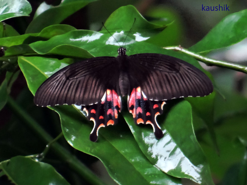 BUTTERFLY by Kaushik