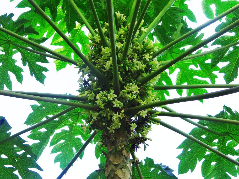 The Papaya tree by Asif Bora