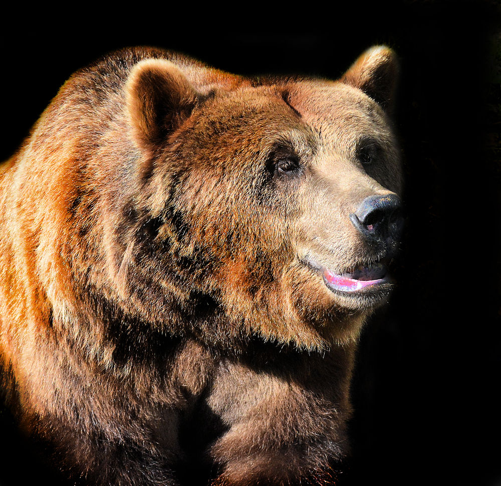 Photo in Animal #bär #ursus #grizzli