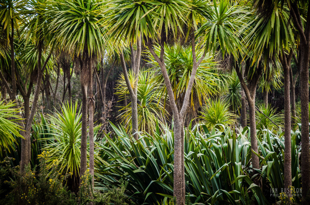 Cabbage Trees & Flax by Ian Rushton