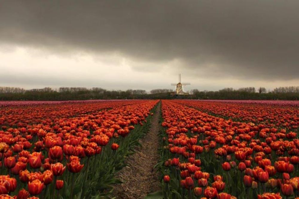 Dutch tulipfield. by ellyhagens1