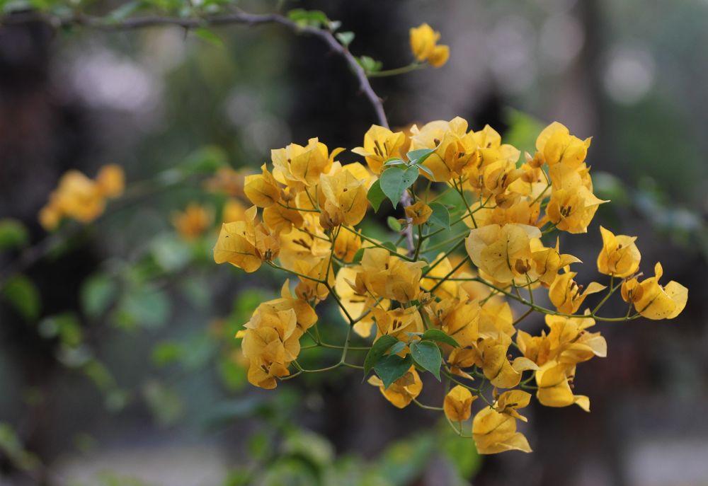 yellow bougainvillea.JPG by mohanburagohain