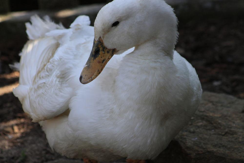 Photo in Animal #animal #duck