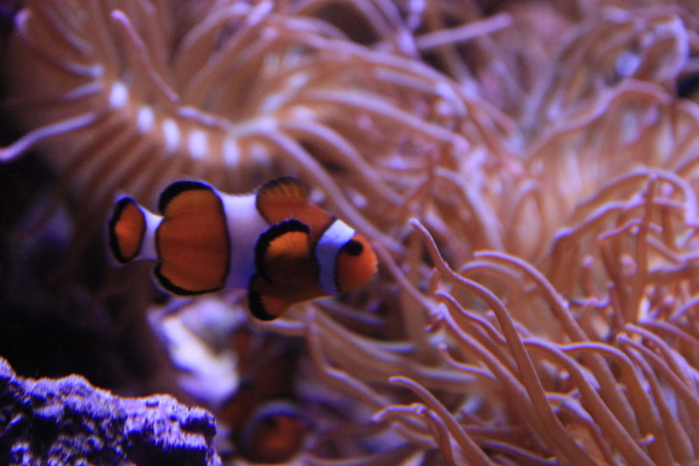 Photo in Nature #clown fish #nature