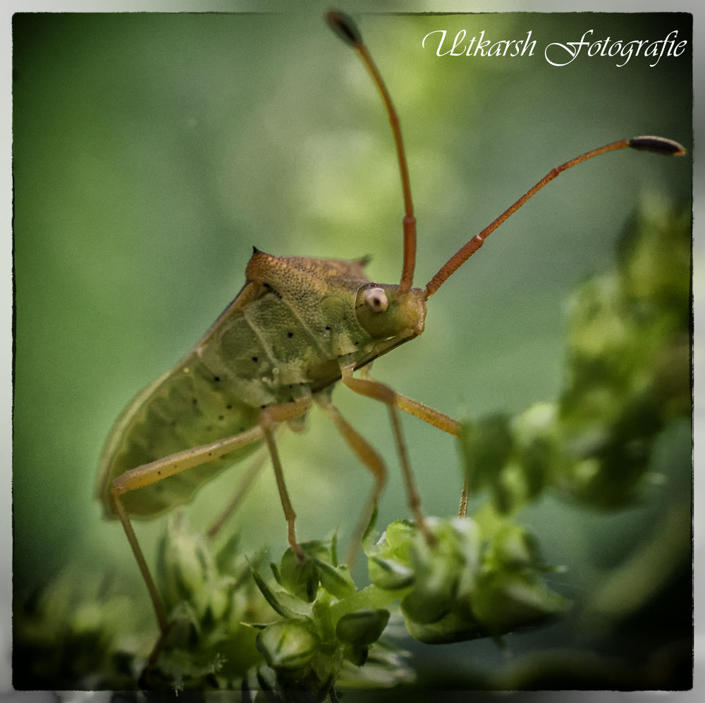Leaf Footed Bug (Coreidae) by mrutkarsh