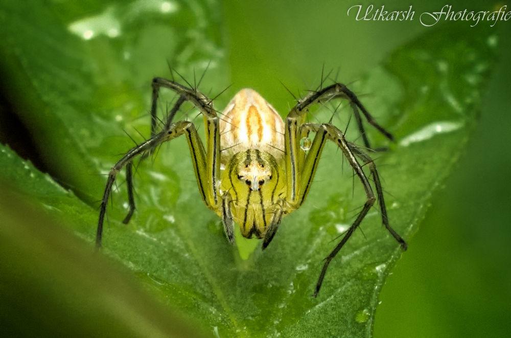 Lynx Spider by mrutkarsh
