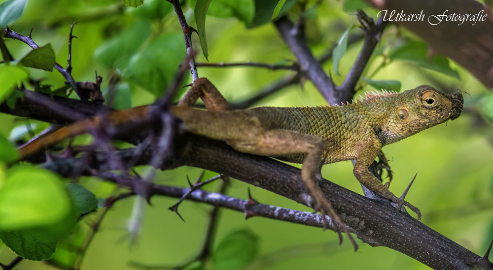 Lizard by mrutkarsh