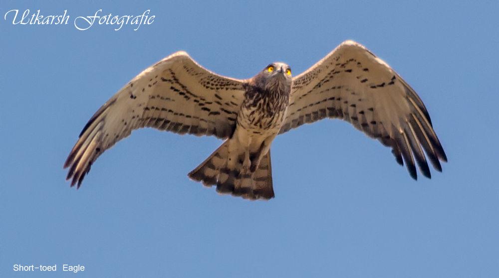 Short-toed Eagle by mrutkarsh