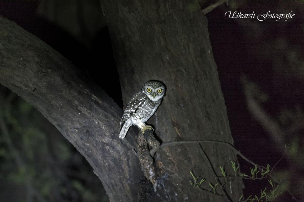 Spotted Owlet (Athene brama) by mrutkarsh