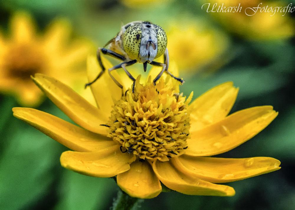 Hoverfly by mrutkarsh