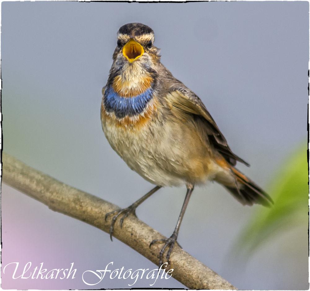 Bluethroat (Luscinia svecica) by mrutkarsh