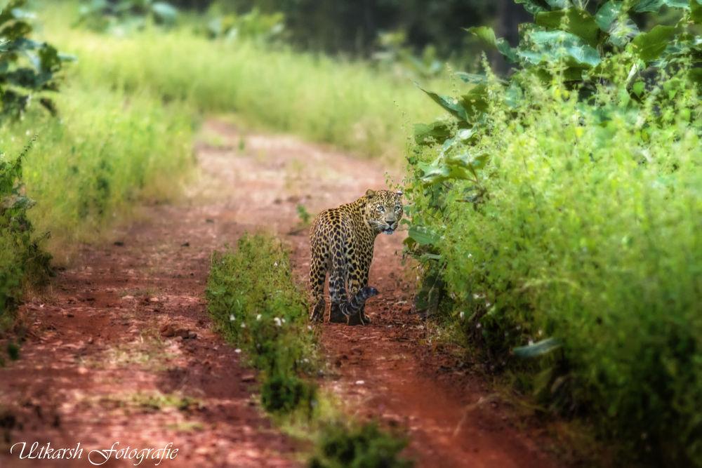 leopard (Panthera pardus) by mrutkarsh