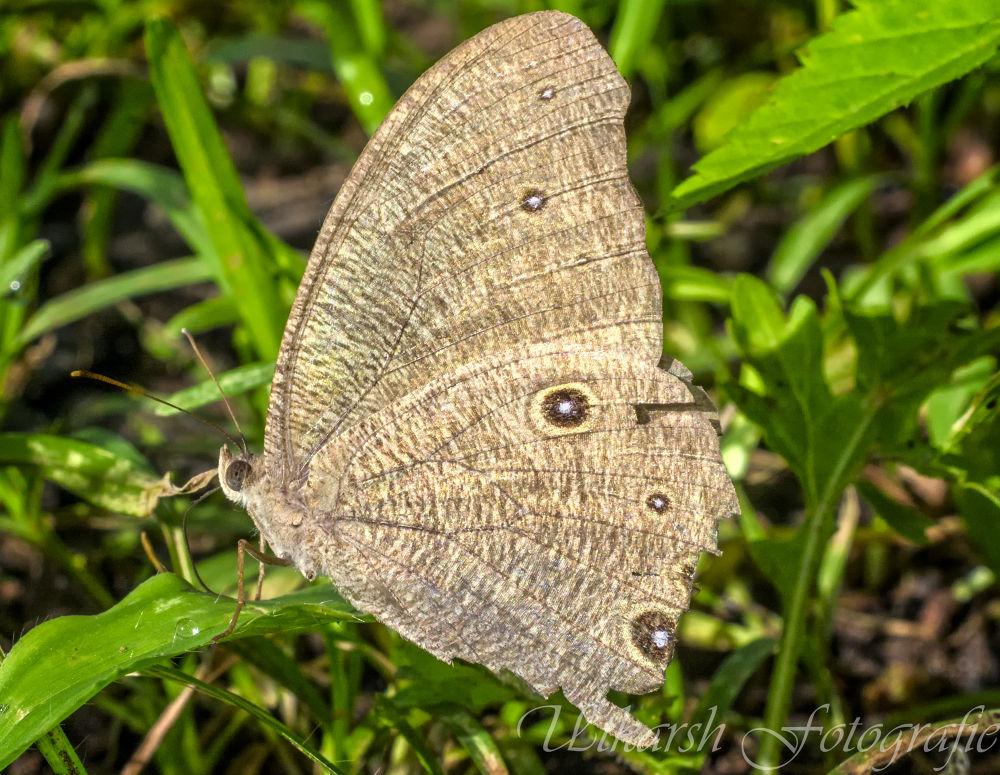 Melanitis leda-Common Evening Brown butterfly by mrutkarsh