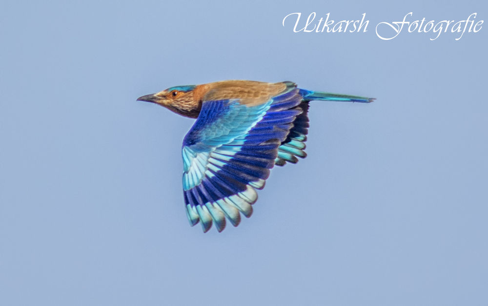 The Indian Roller (Coracias benghalensis) by mrutkarsh