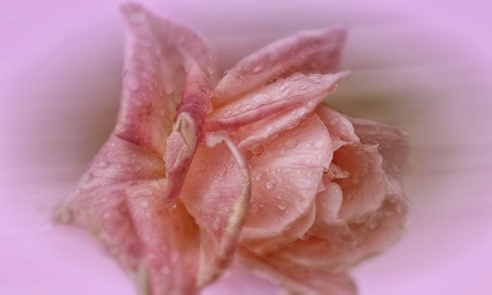 Rosa by lolacamachotroyano