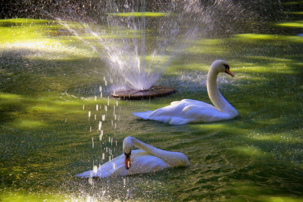 Cisnes by lolacamachotroyano