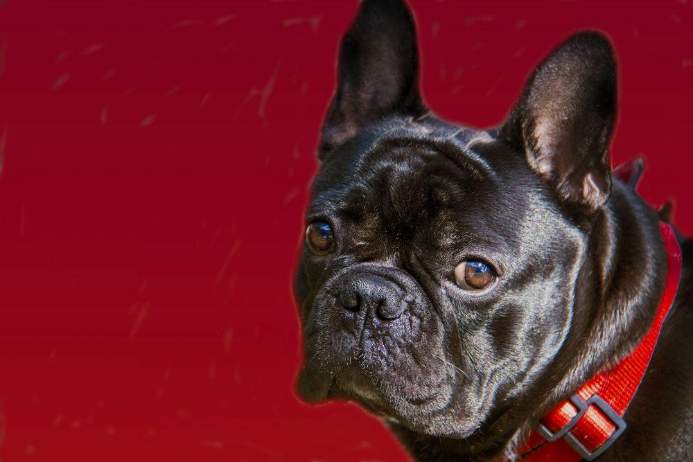 Bulldog frances  by lolacamachotroyano