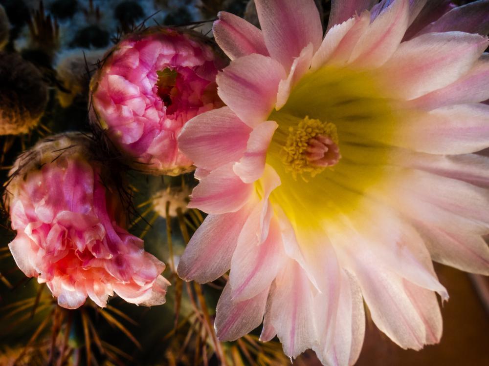Flor de cactu by lolacamachotroyano