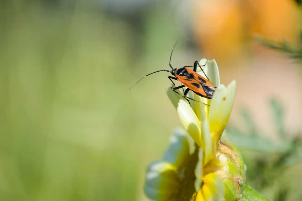 Bug on a Daisy 2 by derrymaine14