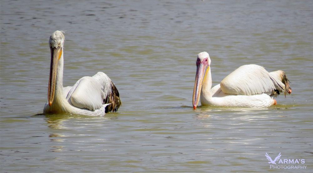 Great White Pelicans.jpg by harshitvarma