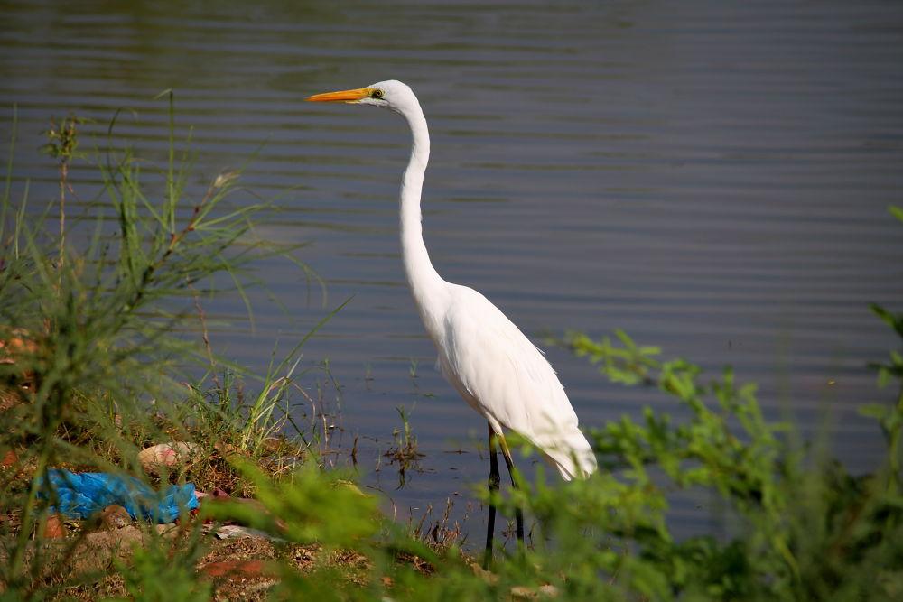 Great Egret by harshitvarma