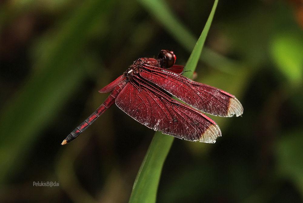 capung merah.jpg by yocosipelukisbadai