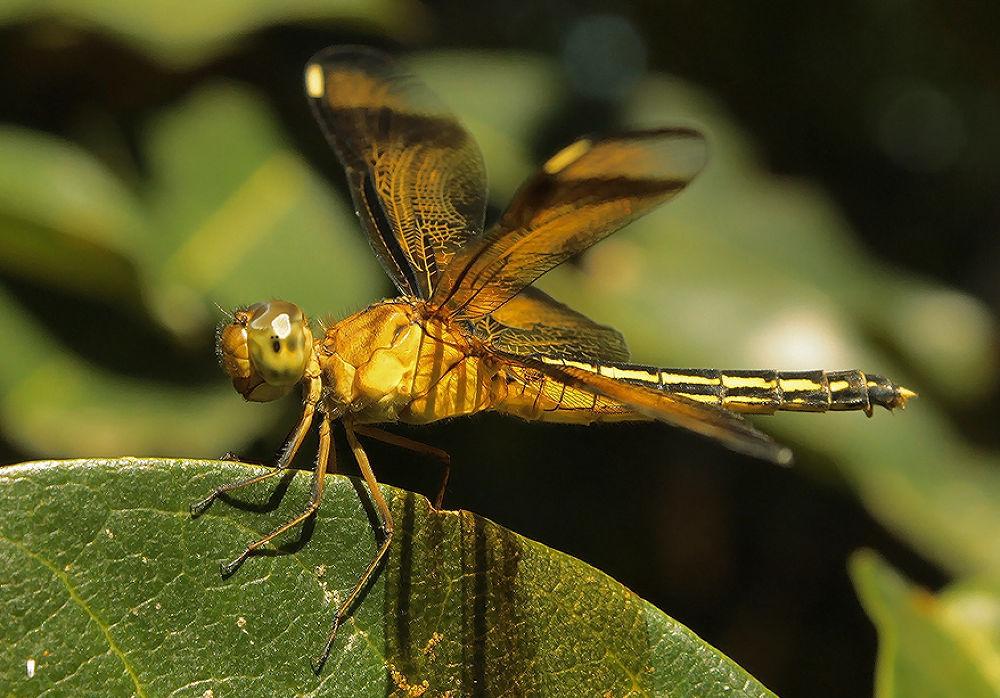 Odonata at Dimembe Village by yocosipelukisbadai