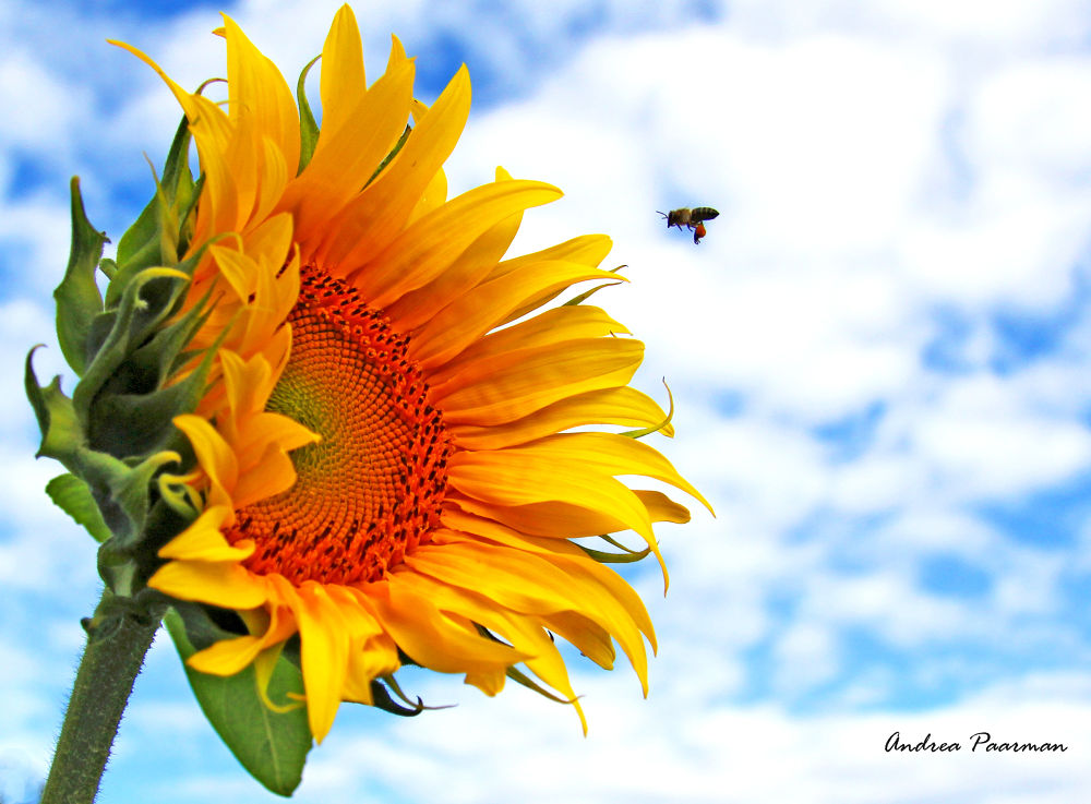 Sunflower by Andrea Paarman