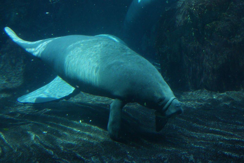 seacow by louisepaba
