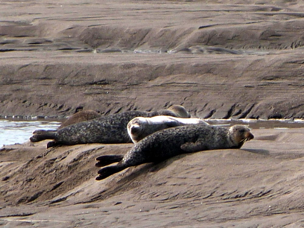 River Tay seals  by Bruce Summerton