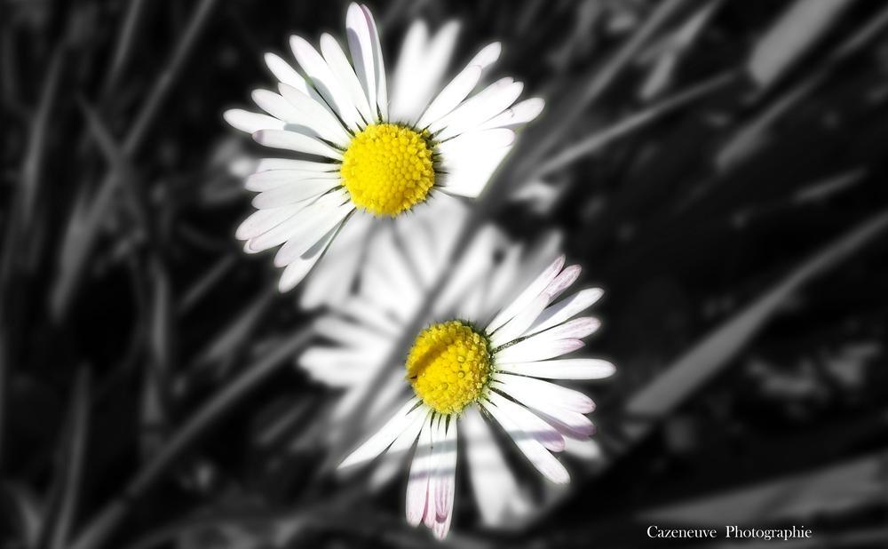 Marguerites… by virginiecazeneuve