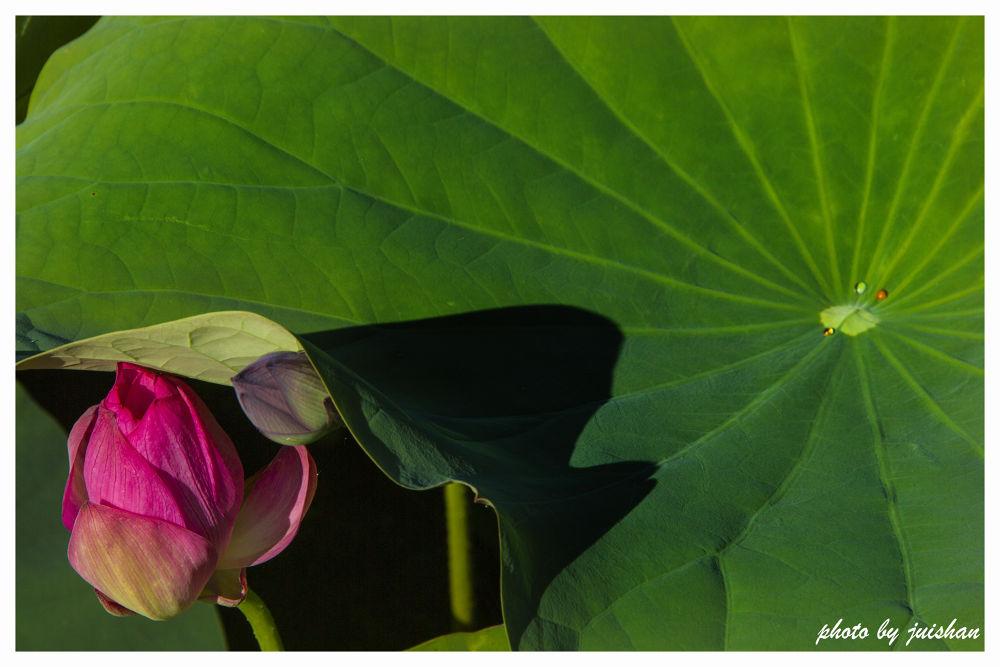 Lotus by juisan